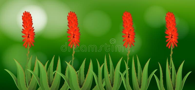 Цветки vera алоэ в саде иллюстрация вектора