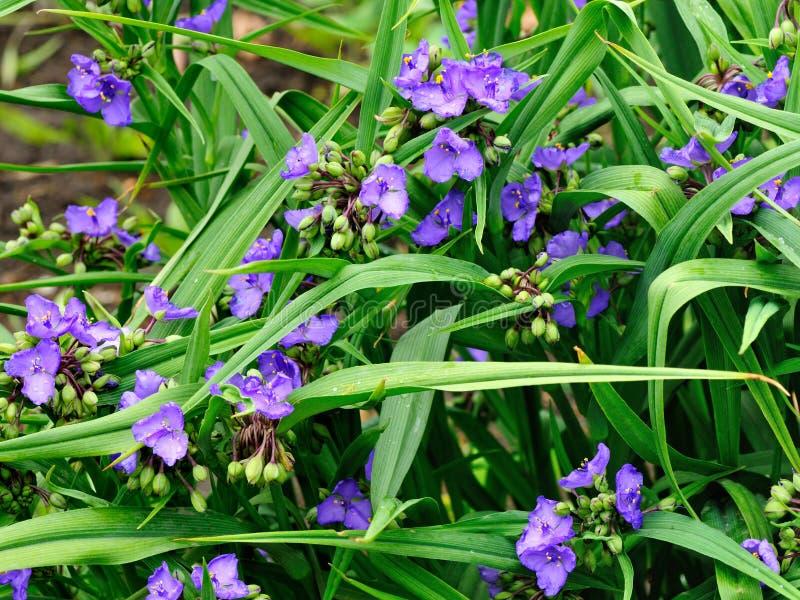 Цветки virginiana традесканциы стоковая фотография rf