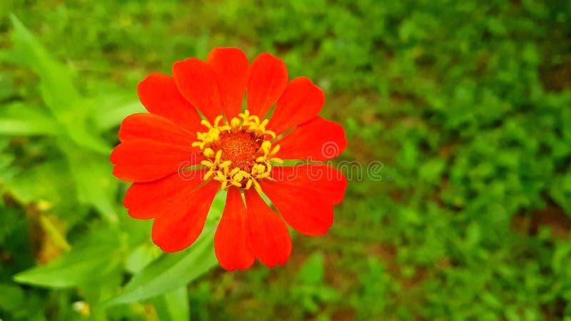 Цветки Zinnia стоковое фото rf