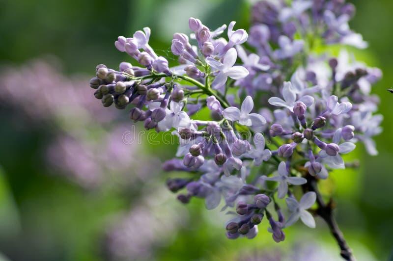 Цветковое растение в маслиновые прованской семьи, лиственный кустарник Syringa vulgaris с группой в составе светло-фиолетовые фио стоковое изображение