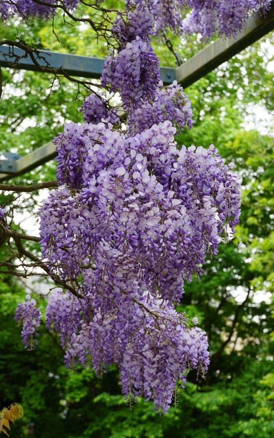Цветковое растение глицинии стоковые фото