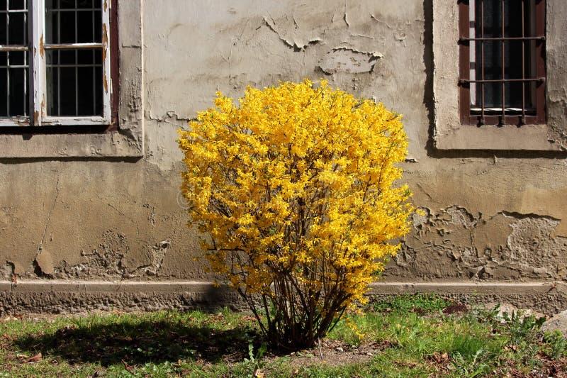 Цветковое растение дерева Forsythia или пасхи с плотный яркий желтый расти цветков в форме небольшого куста перед треснутой стено стоковая фотография rf