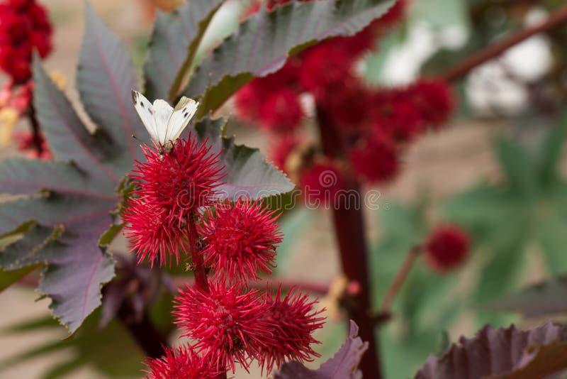 Цветковое растение с белой бабочкой сидя на красном терновом цветке стоковое изображение