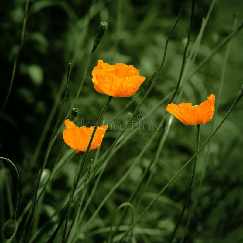 Цветков мака Eschscholzia чувство оранжевых винтажное стоковая фотография rf