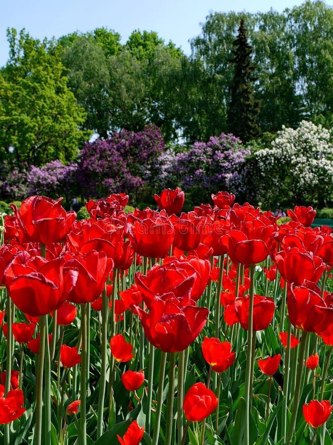 Цветник голландских тюльпанов против предпосылки пестротканых кустов сирени Пурпур, белизна и фиолет стоковые изображения rf