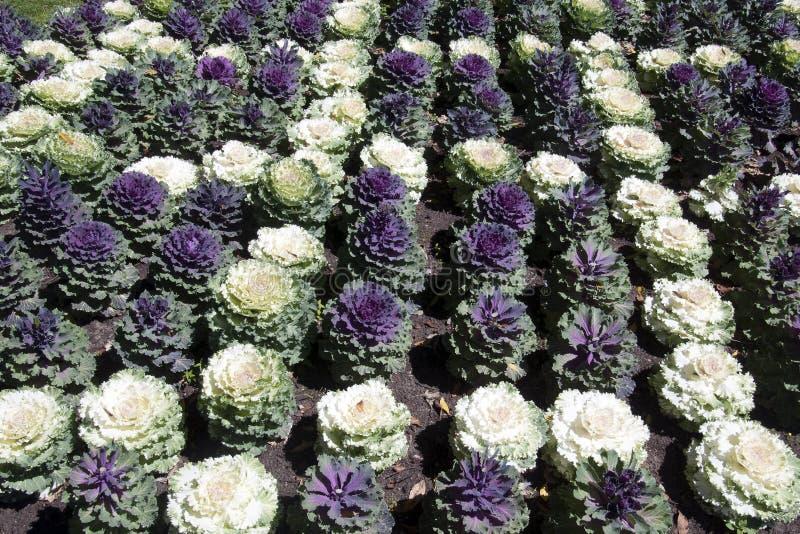 Цветник орнаментальных заводов капусты стоковое изображение rf