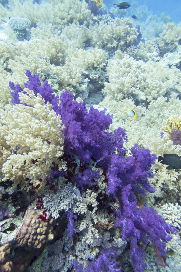 Цветной коралловый риф на дне тропического моря, мягкий коралловый фиолетовый дендронефтья, подводный ландшафт стоковые изображения