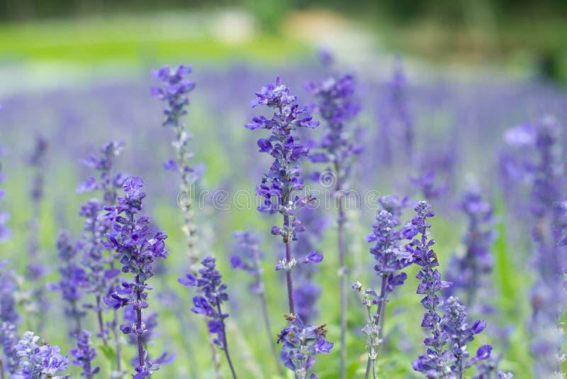 Download Цветок лаванды стоковое изображение. изображение насчитывающей bluets - 40590613