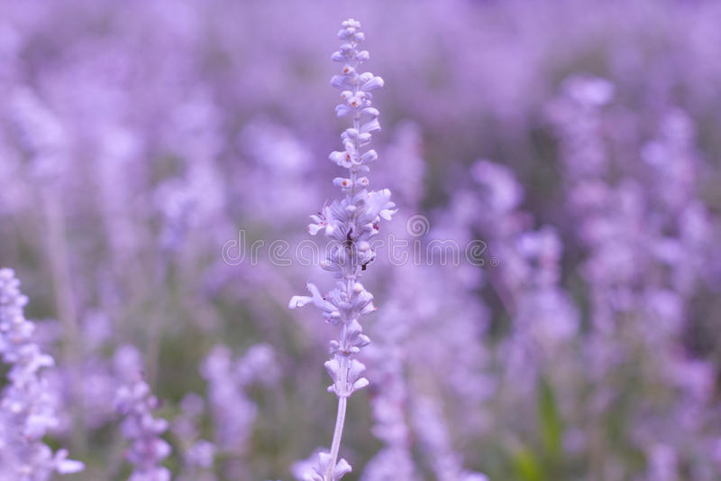 Download Цветок лаванды стоковое фото. изображение насчитывающей цвет - 40590614