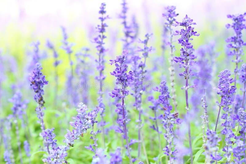 Download Цветок лаванды стоковое изображение. изображение насчитывающей косметика - 40590923