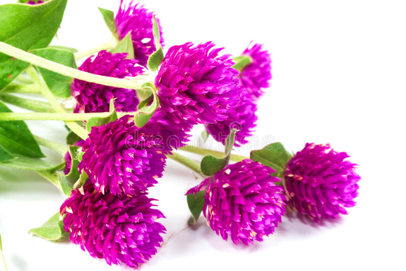 Цветок амаранта глобуса стоковые изображения rf