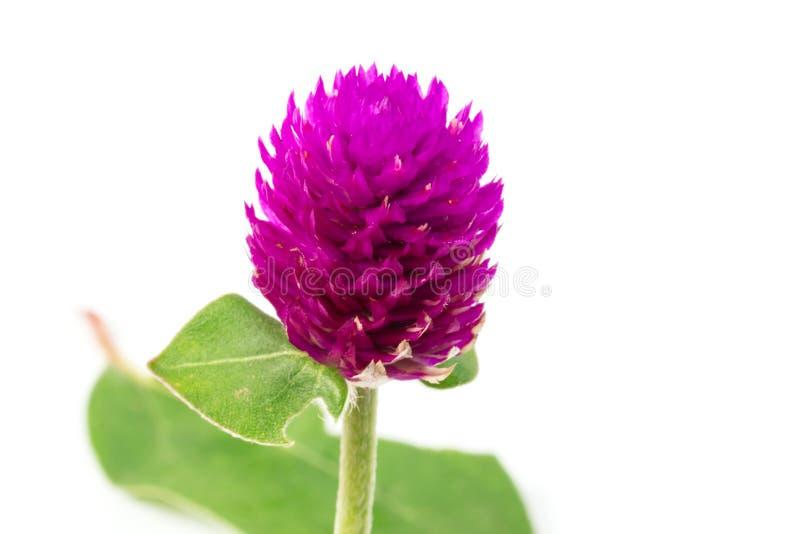 Цветок амаранта глобуса стоковая фотография