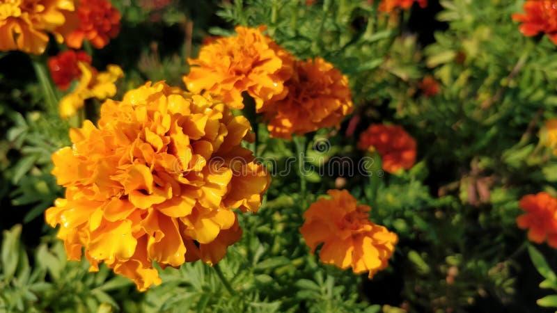 Цветок апельсина гвоздики стоковые изображения rf