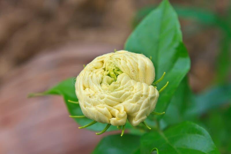 Цветок аравийского жасмина (sambac Jasminum) на дереве стоковая фотография