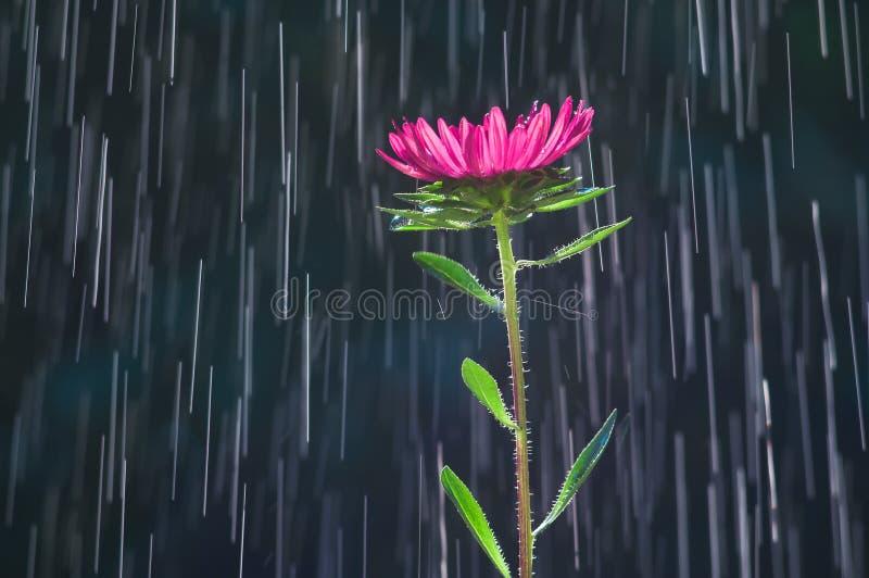 Цветок астры на следах предпосылки дождевых капель стоковое фото