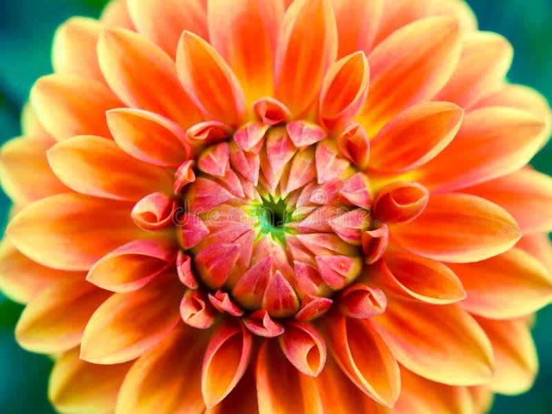 Цветок астры стоковые фото