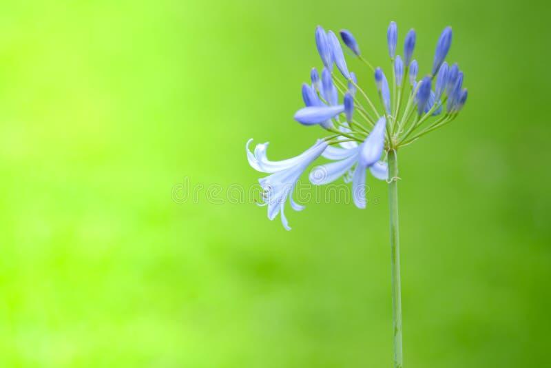 Цветок африканской лилии стоковые изображения rf