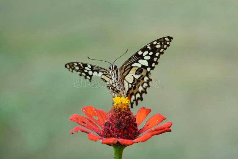 Цветок бабочки стоковое изображение