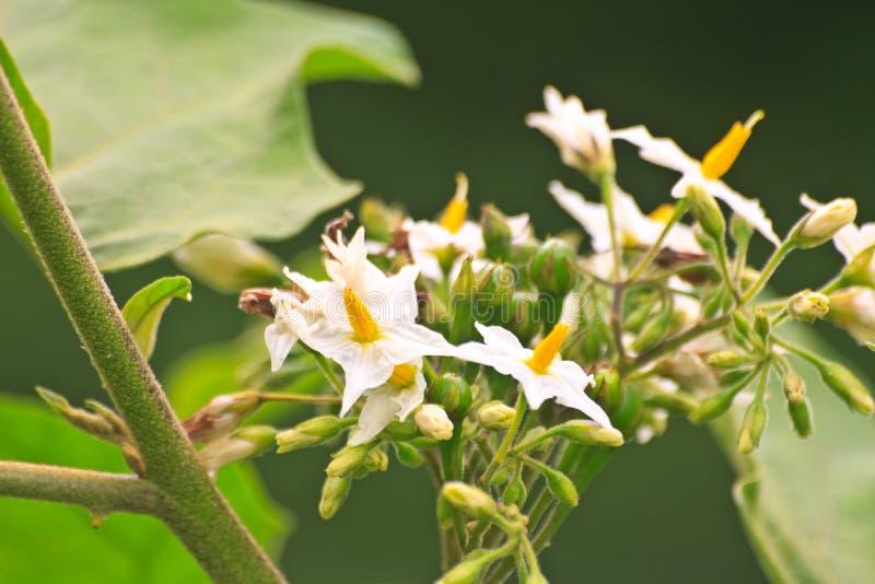 Цветок баклажана гороха на дереве стоковые фото