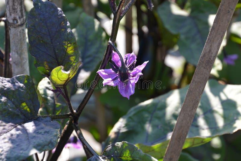 Цветок баклажана стоковые фотографии rf