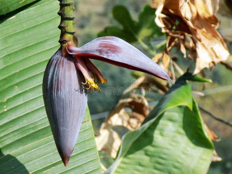 Цветок банана стоковое изображение