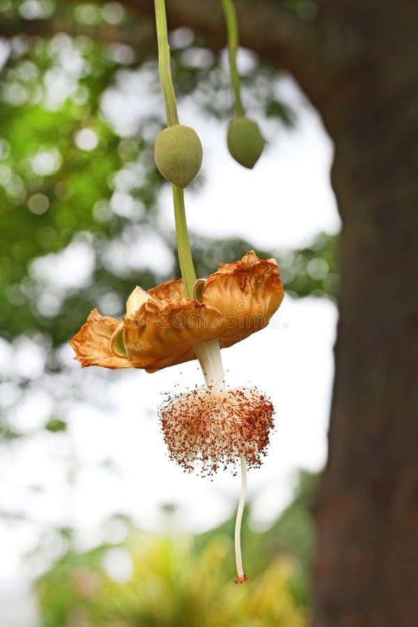 Цветок баобаба стоковая фотография