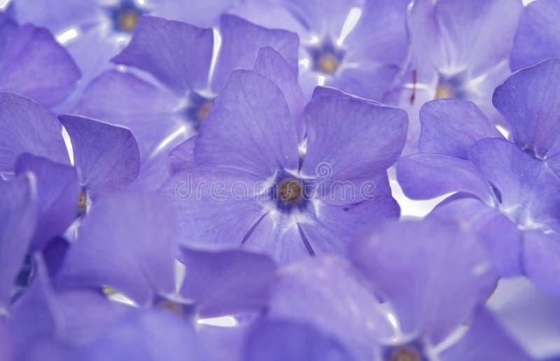 Цветок барвинка стоковое изображение