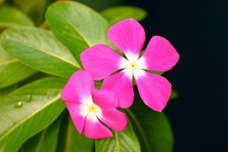 Цветок барвинка стоковая фотография