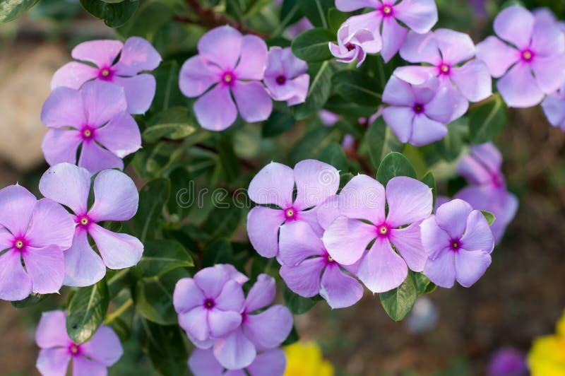 Цветок барвинка стоковое фото rf