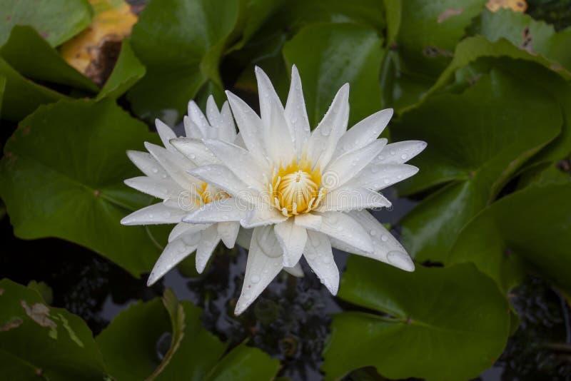 Цветок белого лотоса или лилии воды с падениями дождя стоковые фото