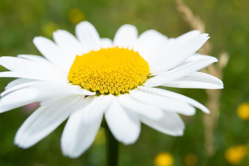 Цветок белой маргаритки в зеленом поле стоковые изображения