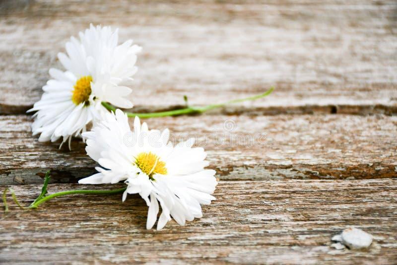 Цветок белой маргаритки стоковое фото