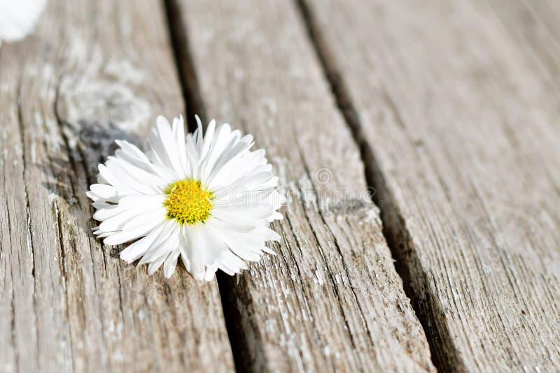 Цветок белой маргаритки стоковая фотография rf