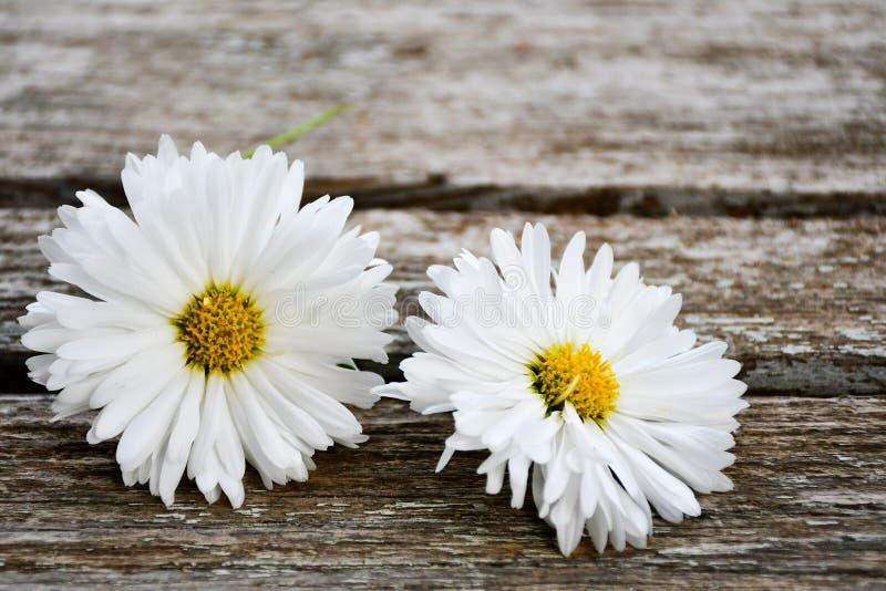 Цветок белой маргаритки стоковое изображение rf