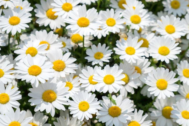 Цветок белых маргариток на зеленом луге стоковое изображение