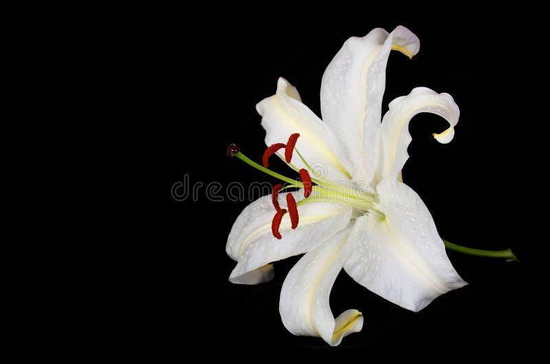 Цветок белой лилии на черной предпосылке стоковое изображение rf