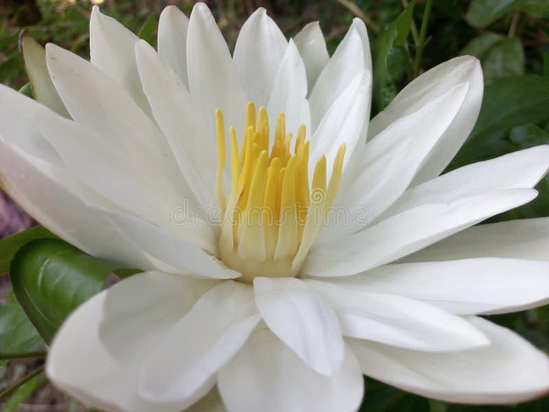 Цветок белой лилии стоковая фотография rf