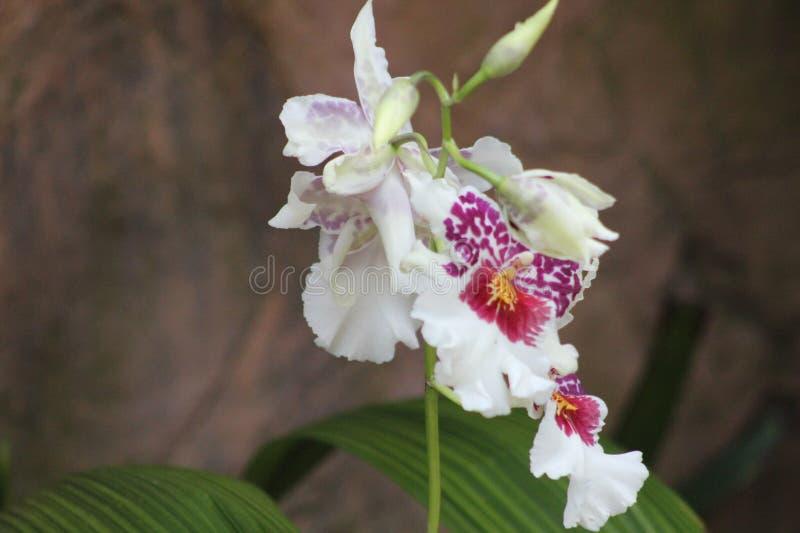 Цветок белых лилий с пурпуром стоковые изображения rf