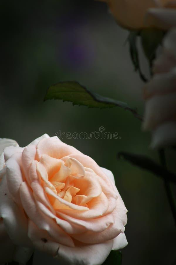 Цветок бледной розы апельсина с темной предпосылкой позади стоковое изображение