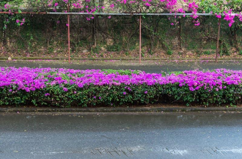Цветок бугинвилии зацветает на островке безопасности стоковые фото
