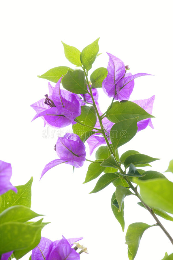 цветок бугинвилии стоковые фото