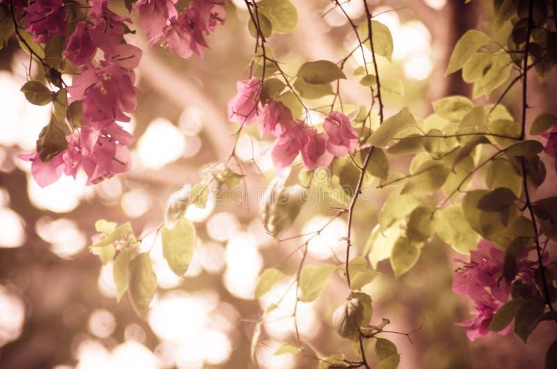 Цветок бугинвилии стоковая фотография rf