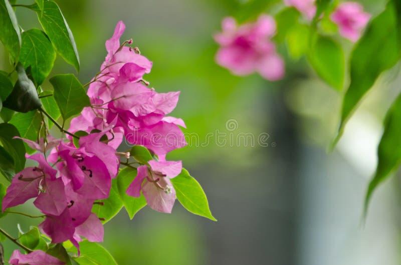 Цветок бугинвилии стоковое фото