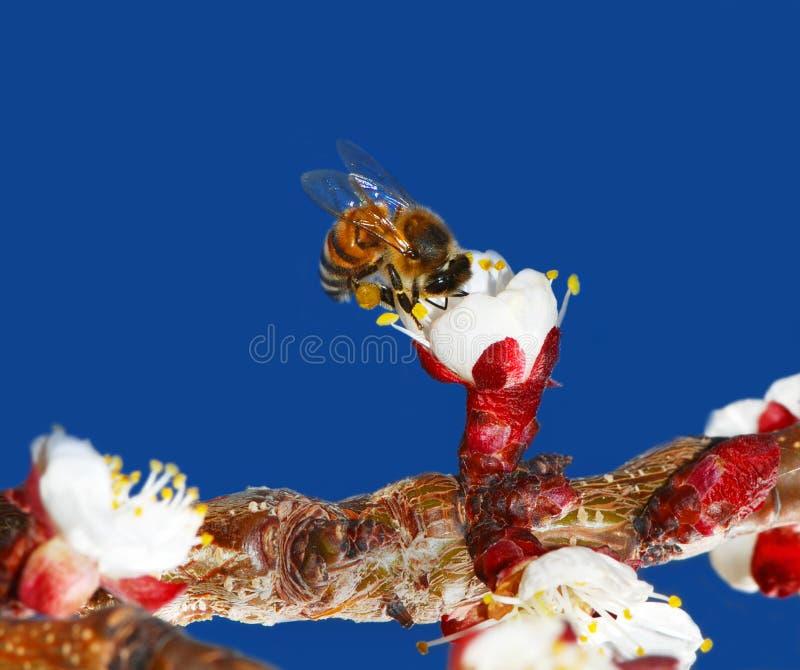 цветок бутона пчелы стоковые фотографии rf