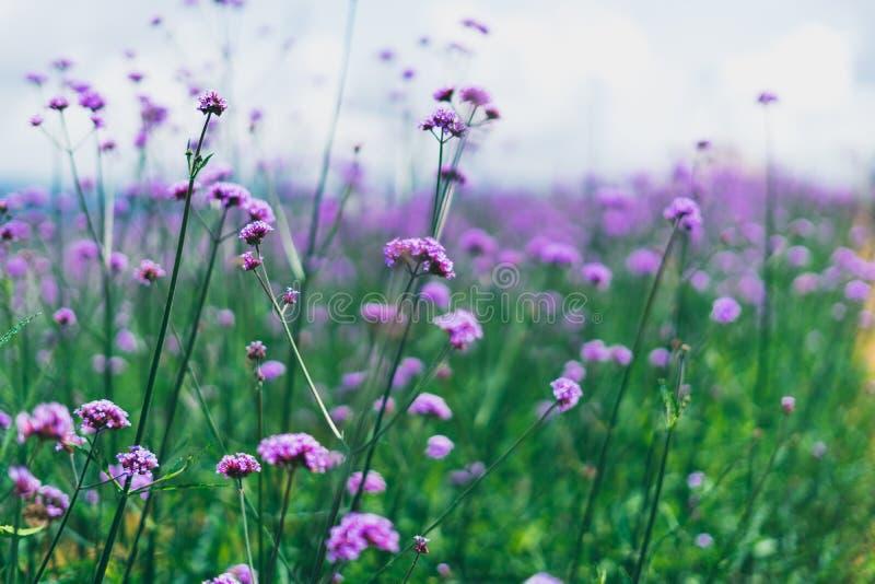 Цветок вербены, красивый пурпурный цветок стоковое фото