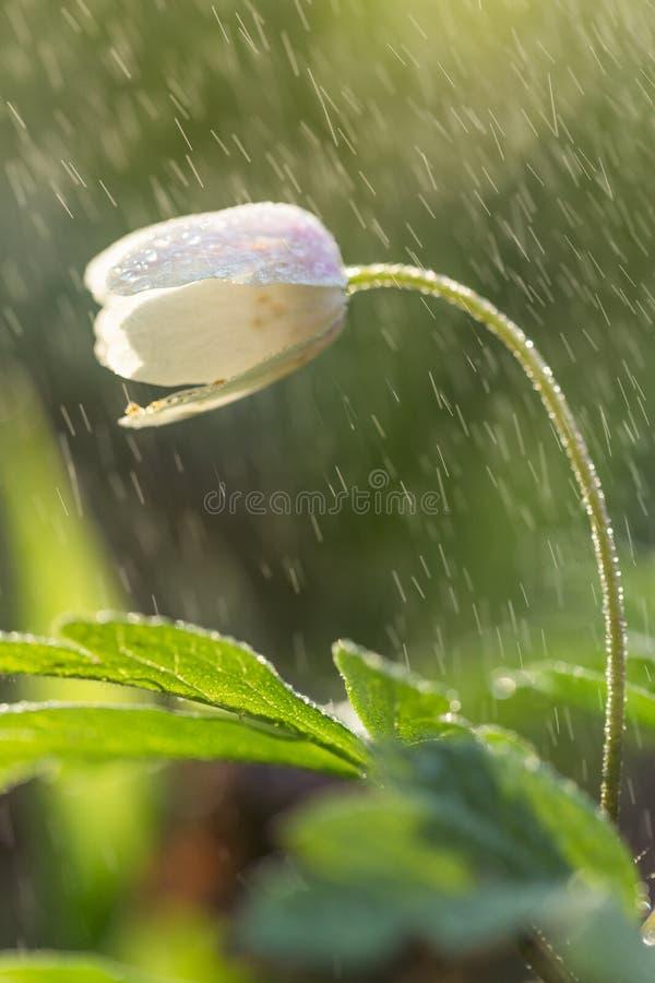 Цветок весны в дожде стоковые изображения rf