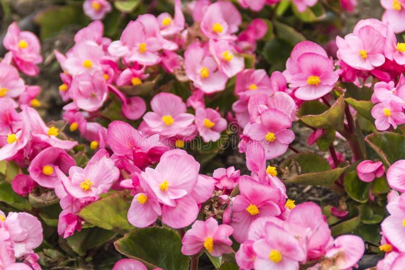 Цветок весны в Японии стоковое изображение