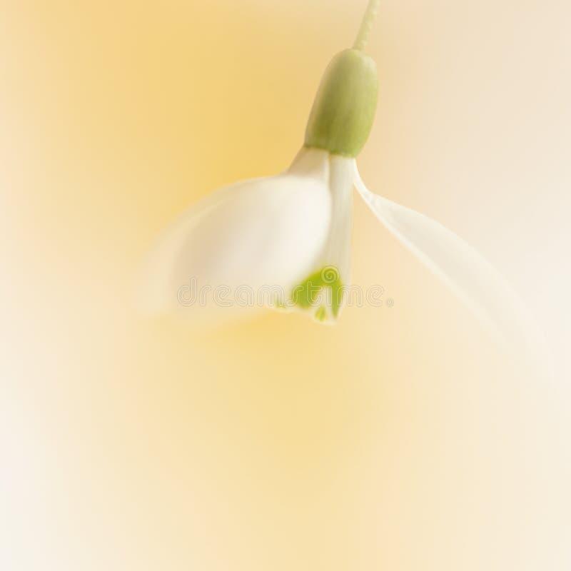 Цветок весны макроса - snowdrops Gallanthus изолировали на белой предпосылке стоковое фото