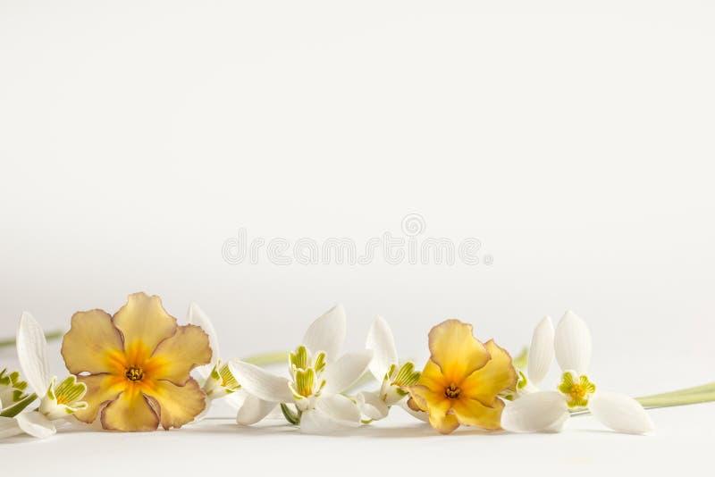Цветок весны макроса - snowdrops Gallanthus и первоцветы изолированные на белой предпосылке стоковая фотография