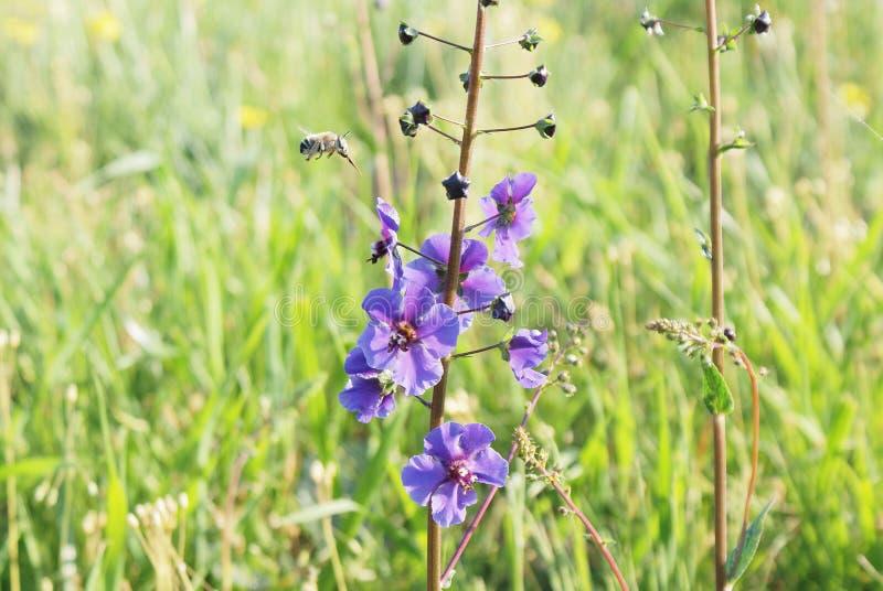Цветок весны фиолетовый на зеленой предпосылке outdoors стоковые фотографии rf